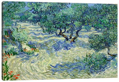Olive Orchard Canvas Art Print