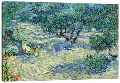 Olive Orchard Canvas Art Print