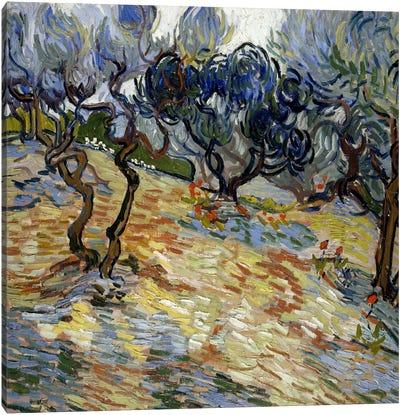 Olive Trees Canvas Art Print