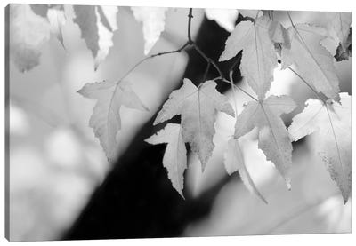 Leaves and Light Canvas Art Print