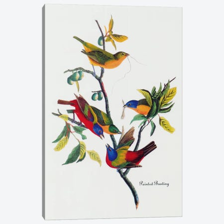 Painted Bunting Canvas Print #1469} by John James Audubon Canvas Artwork