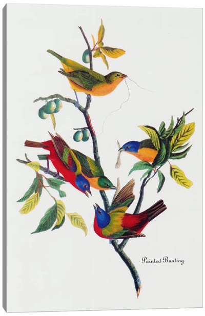 Painted Bunting by John James Audubon Canvas Artwork