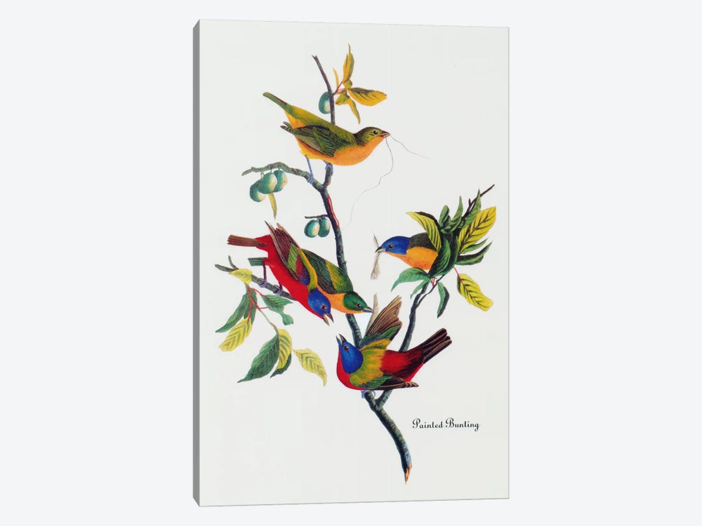 Painted Bunting by John James Audubon 1-piece Canvas Wall Art