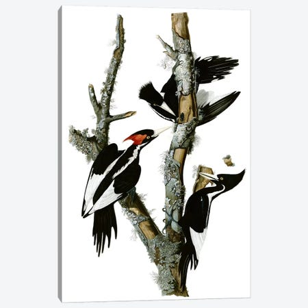 Ivory-billed Woodpecker, 1829 Canvas Print #1479} by John James Audubon Art Print