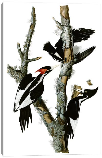 Ivory-billed Woodpecker, 1829 Canvas Art Print