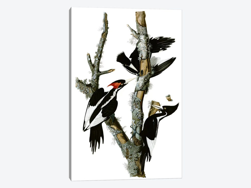Ivory-billed Woodpecker, 1829 by John James Audubon 1-piece Canvas Print