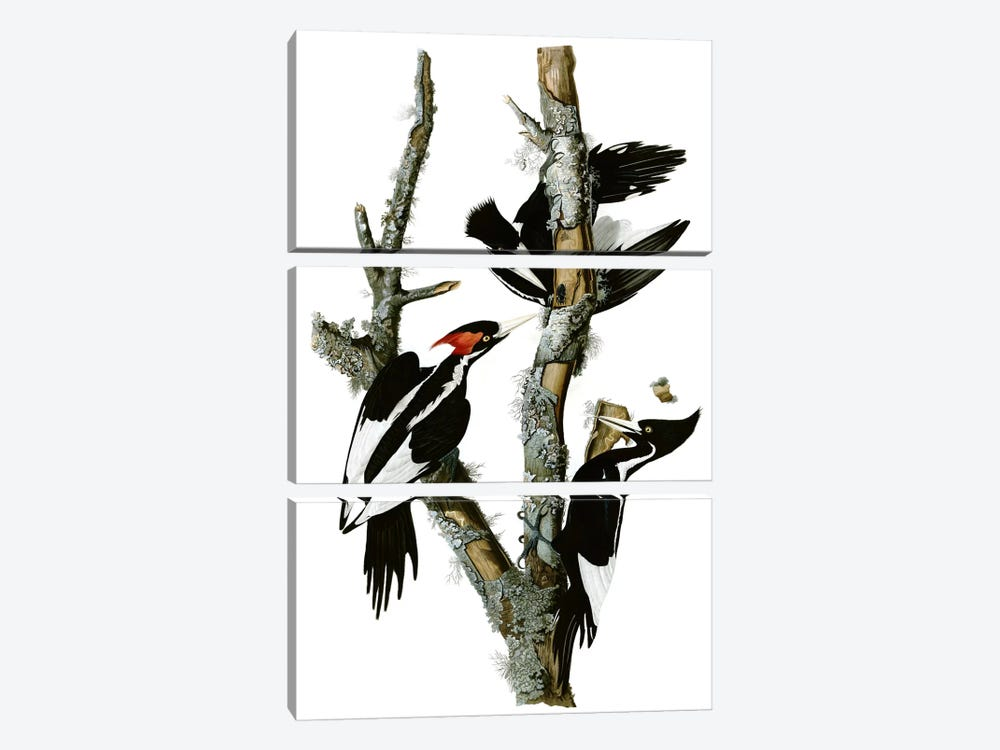 Ivory-billed Woodpecker, 1829 by John James Audubon 3-piece Canvas Print