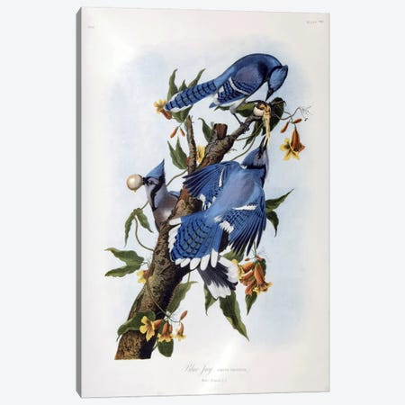 Blue Jay Canvas Print #1480} by John James Audubon Canvas Artwork
