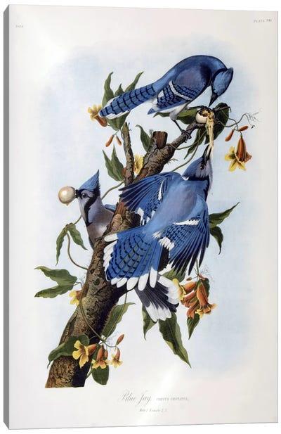 Blue Jay Canvas Print #1480