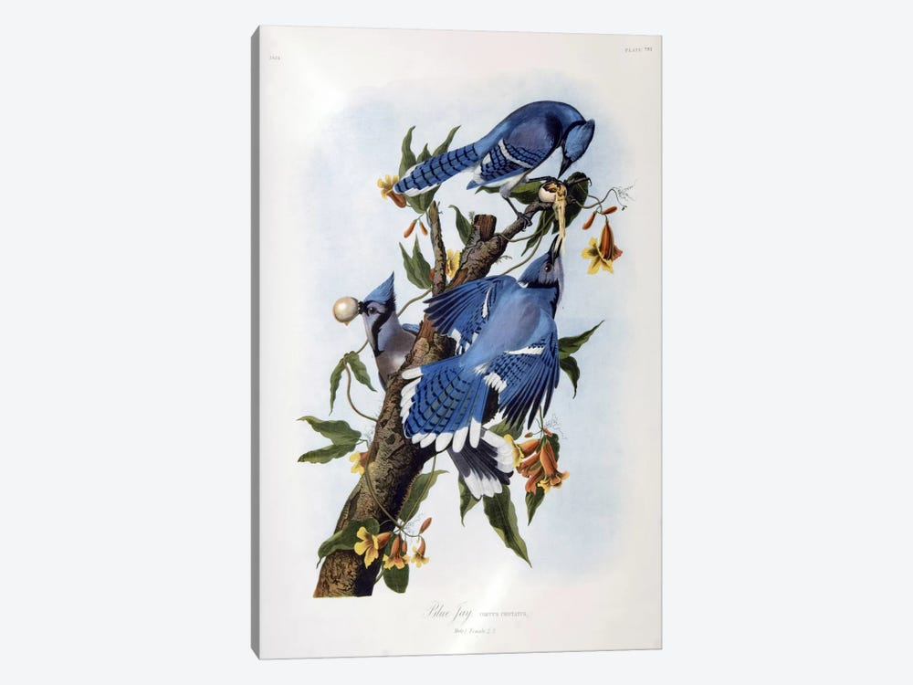 Blue Jay by John James Audubon 1-piece Canvas Art Print