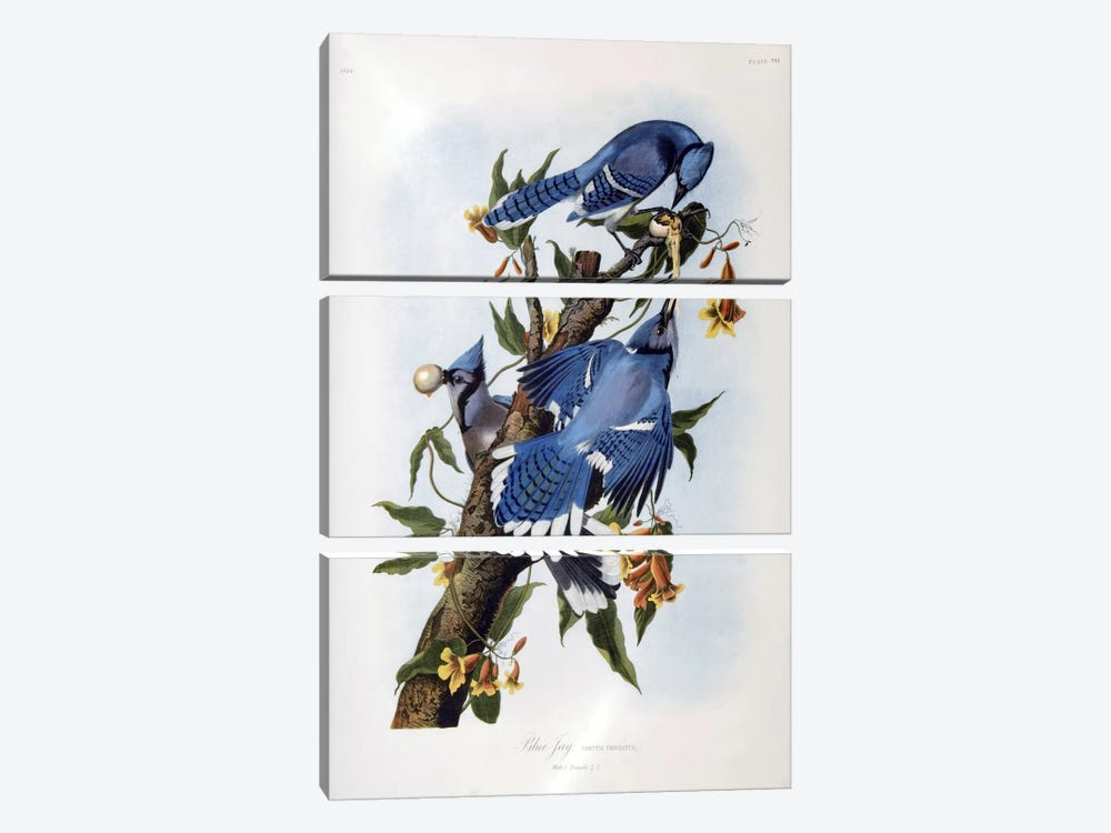 Blue Jay by John James Audubon 3-piece Canvas Art Print