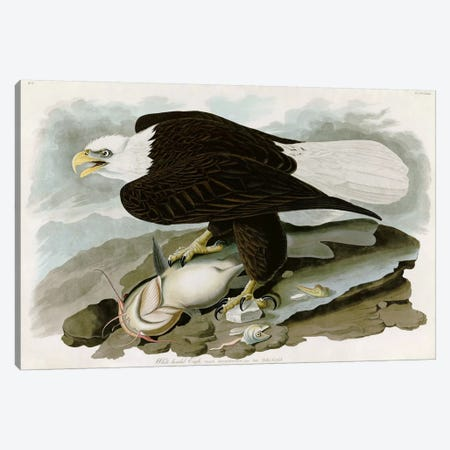 White-headed Eagle Canvas Print #1509} by John James Audubon Art Print