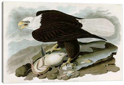 White-headed Eagle Canvas Print #1509