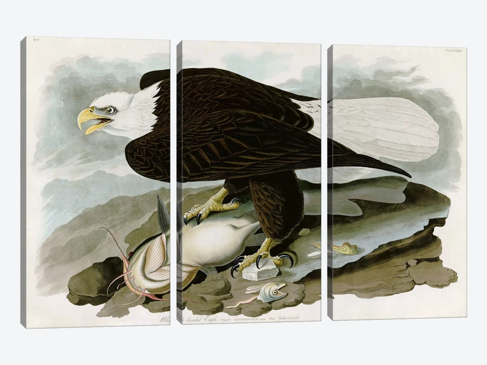 White-headed Eagle by John James Audubon 3-piece Art Print