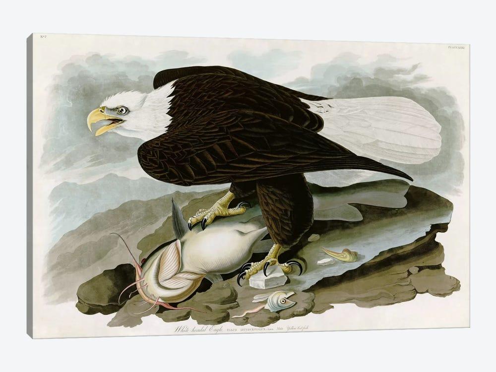 White-headed Eagle by John James Audubon 1-piece Art Print
