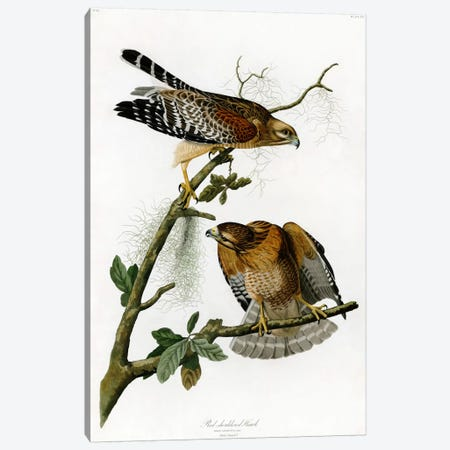 Red-shoulderd Hawk Canvas Print #1510} by John James Audubon Canvas Wall Art