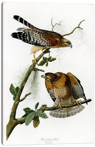 Red-shoulderd Hawk Canvas Art Print