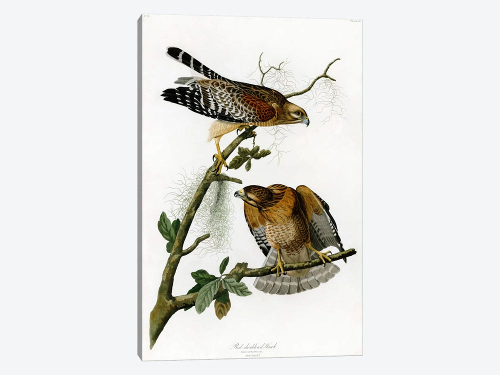 Red-shoulderd Hawk by John James Audubon 1-piece Canvas Art Print