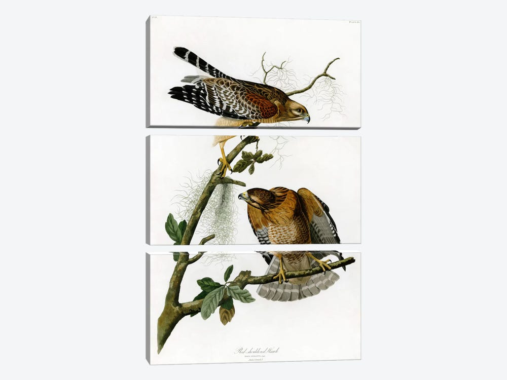 Red-shoulderd Hawk by John James Audubon 3-piece Art Print