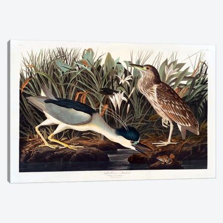 Black-crowned Night Heron Or Qua Bird Canvas Print #1515} by John James Audubon Canvas Art Print