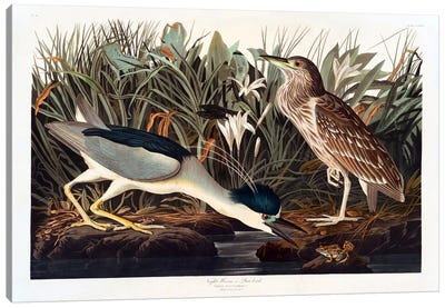 Black-crowned Night Heron Or Qua Bird Canvas Art Print