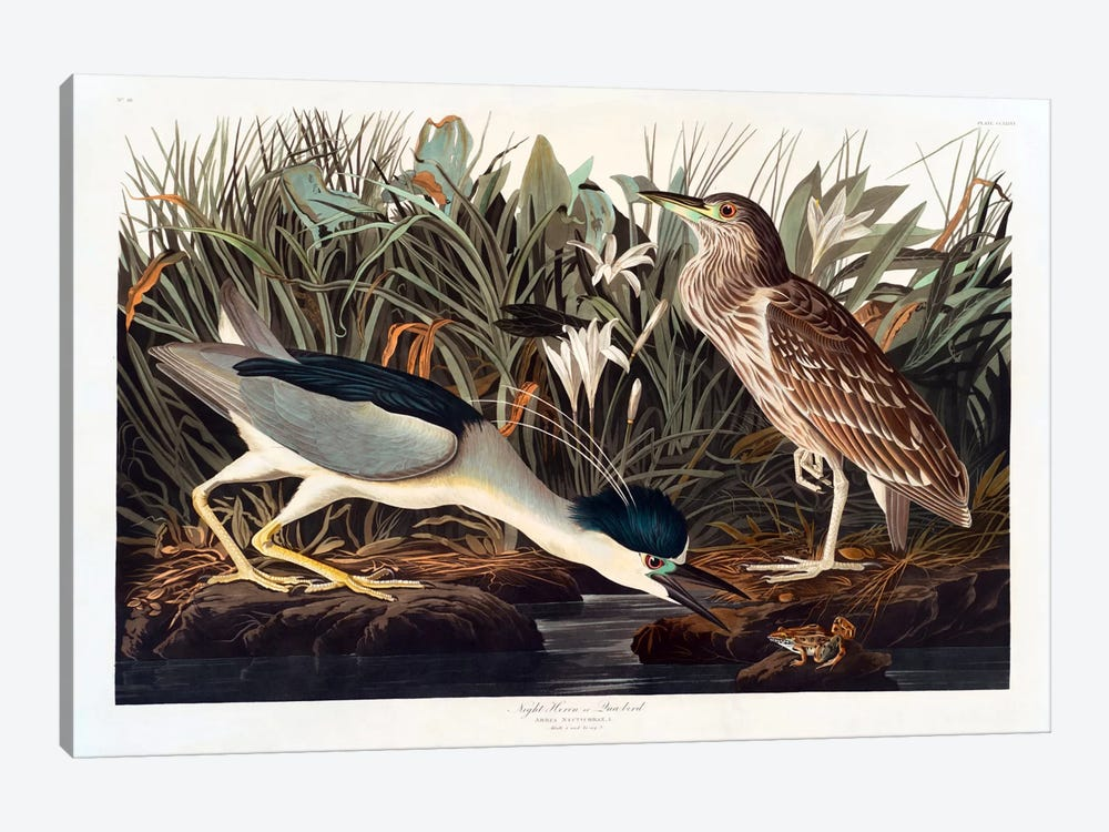 Black-crowned Night Heron Or Qua Bird by John James Audubon 1-piece Canvas Wall Art