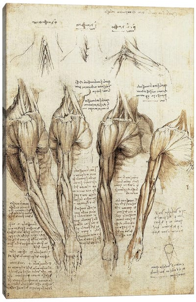 Study of Arms and Shoulders by Leonardo da Vinci Canvas Artwork