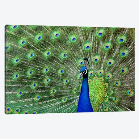 Peacock Feathers Canvas Print #17} Canvas Art Print