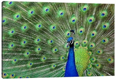 Peacock Feathers Canvas Print #17