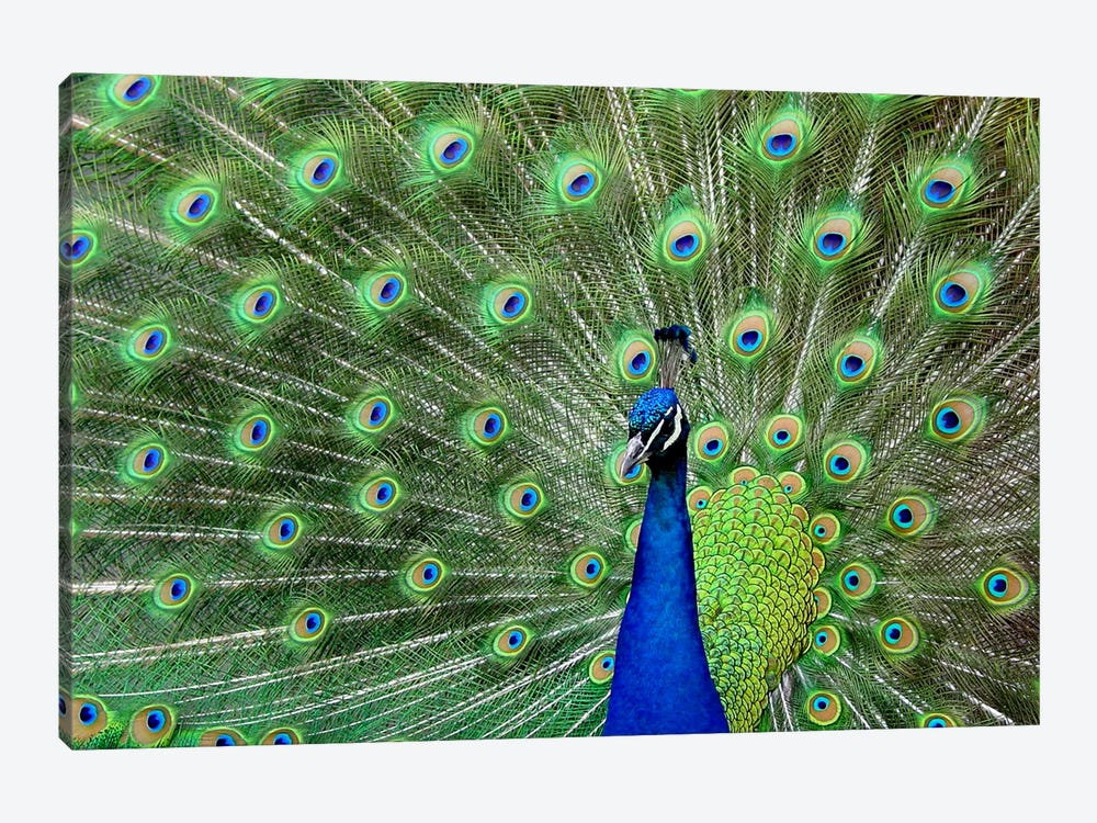 Peacock Feathers by Unknown Artist 1-piece Canvas Art