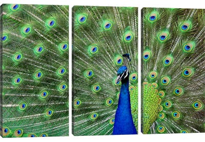 Peacock Feathers Canvas Art Print