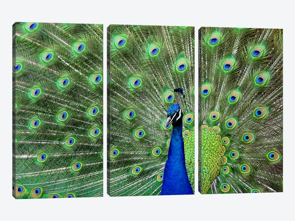 Peacock Feathers by Unknown Artist 3-piece Canvas Artwork