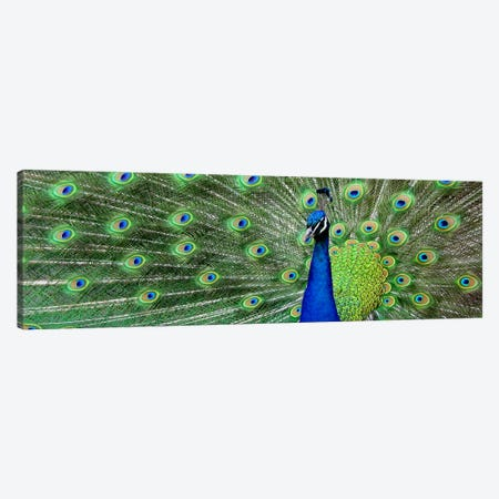 Aqua Peacock Canvas Print #17PAN} by Color Bakery Canvas Print