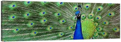 Aqua Peacock Canvas Print #17PAN