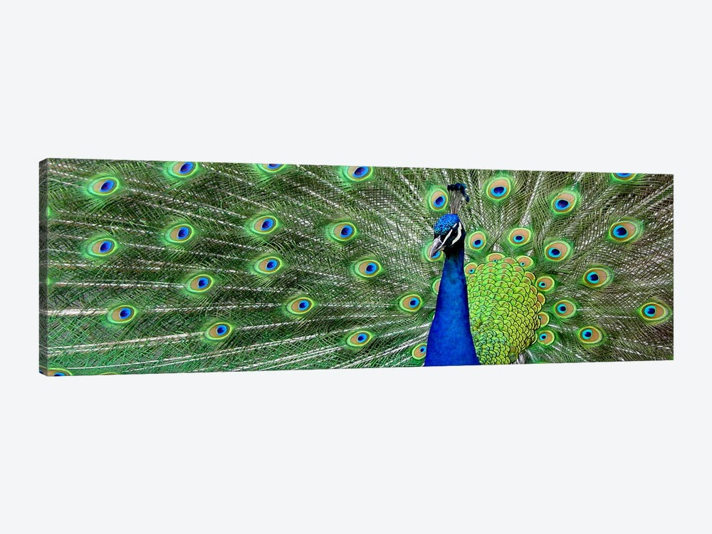Aqua Peacock by Unknown Artist 1-piece Canvas Art