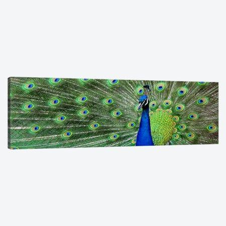 Aqua Peacock Canvas Print #17PAN} by Unknown Artist Canvas Print