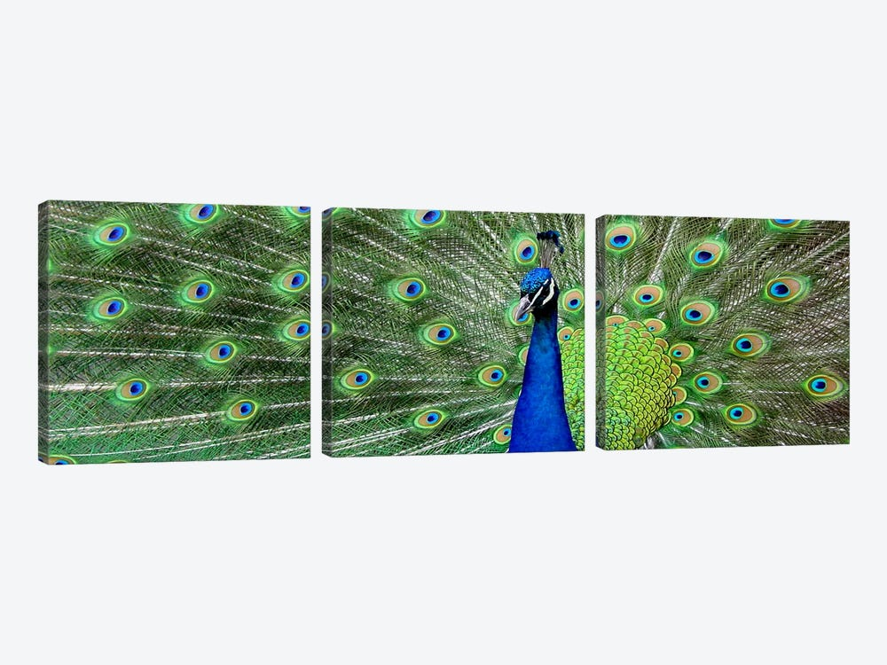 Aqua Peacock by Unknown Artist 3-piece Canvas Artwork