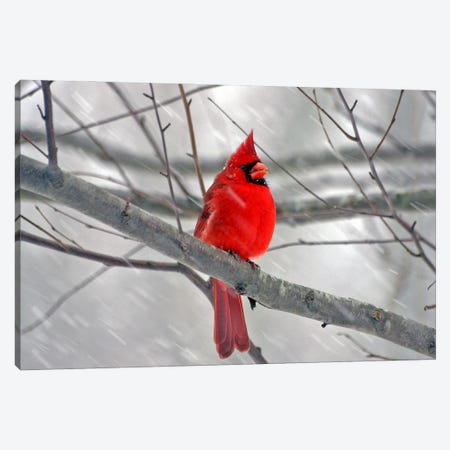 Cardinal Bird Canvas Print #1} by Unknown Artist Canvas Art