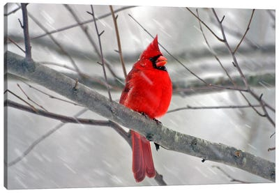 Cardinal Bird Canvas Art Print