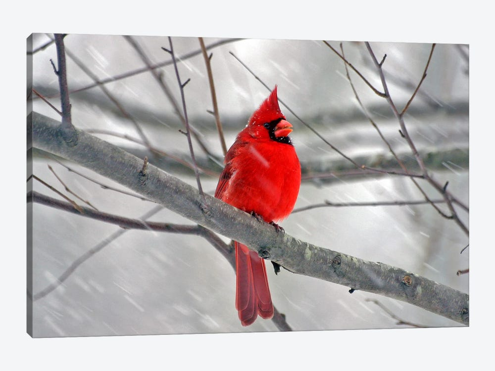 Cardinal Bird 1-piece Canvas Wall Art