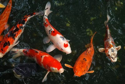 Koi carp in japan art print icanvas for Expensive koi fish for sale