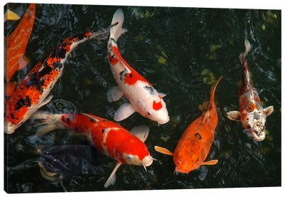 Koi Carp In Japan Canvas Art Print