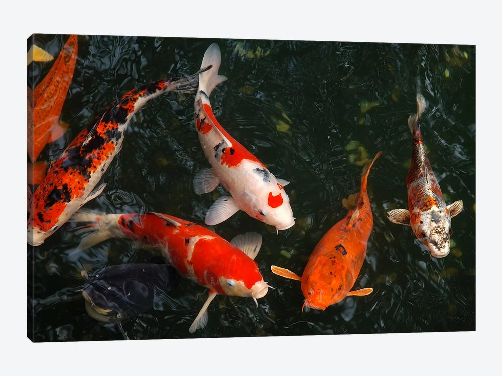 Koi carp in japan art print icanvas for Japanese koi carp paintings