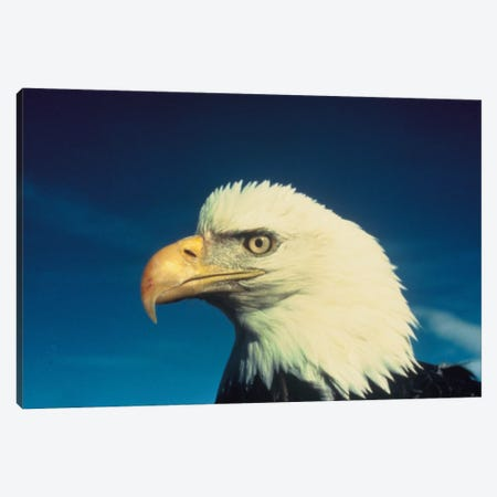 Bald Eagle Canvas Print #3603} by Unknown Artist Canvas Print