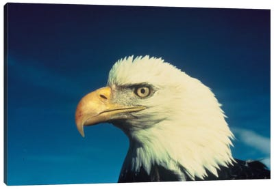 Bald Eagle Canvas Art Print