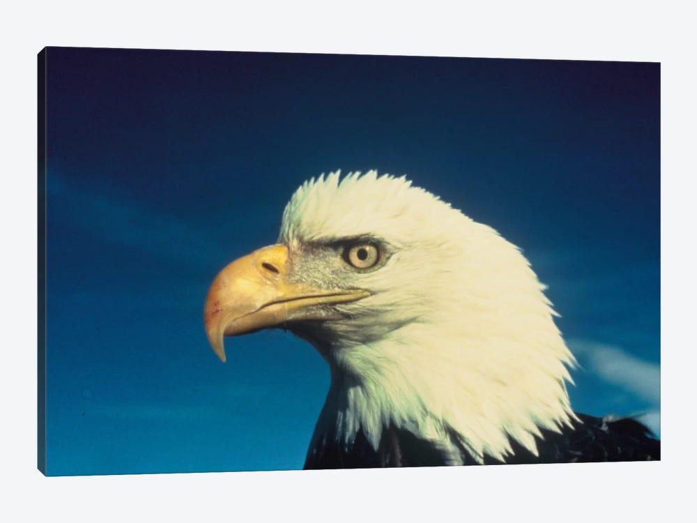 Bald Eagle by Unknown Artist 1-piece Art Print