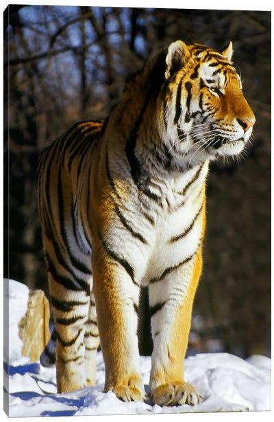 Tiger Canvas Print #37