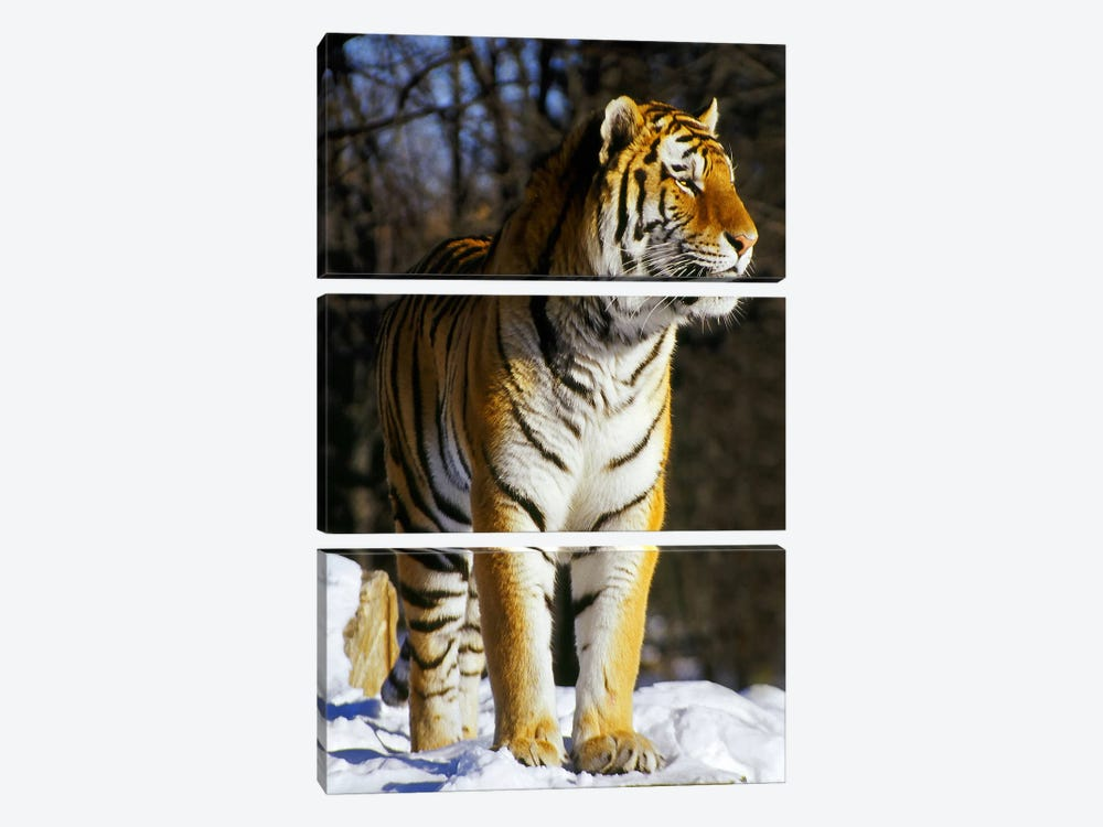 Tiger by Unknown Artist 3-piece Canvas Art