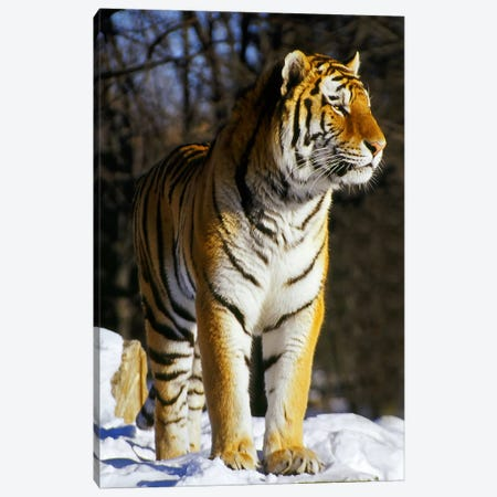 Tiger Canvas Print #37} by Unknown Artist Art Print