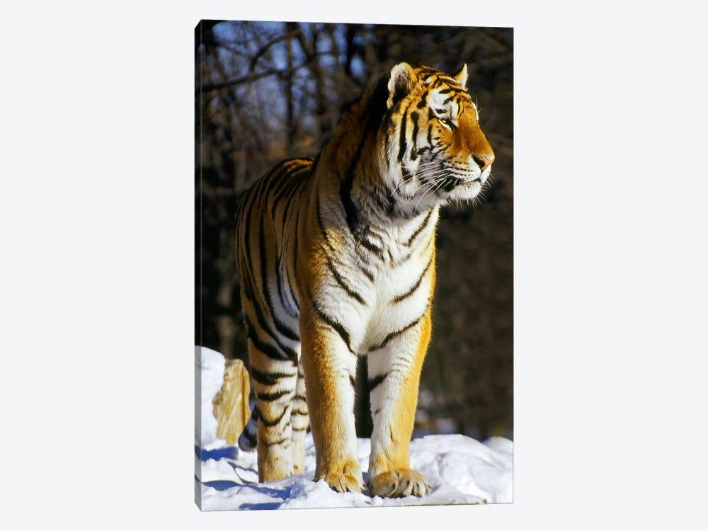 Tiger by Unknown Artist 1-piece Canvas Art